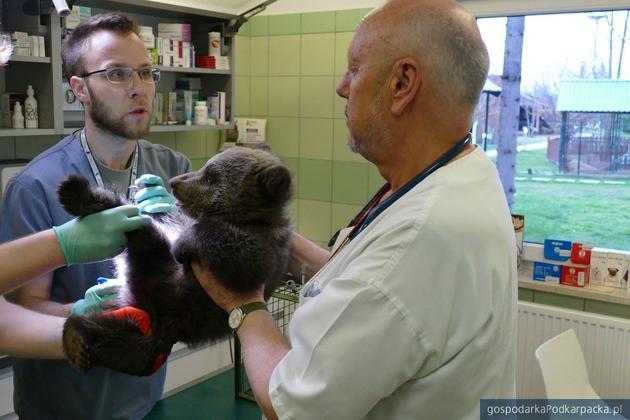 Leśnicy uratowali niedźwiadka