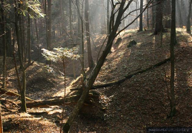 Lasy w pobliżu Birczy. Fot. lasy.gov.pl