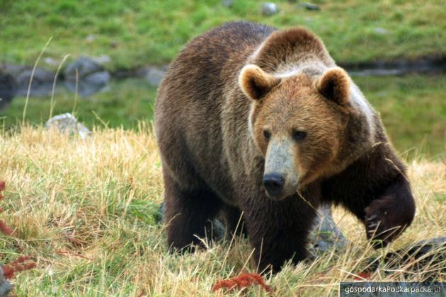Uwaga na niedźwiedzie! Atakują ludzi