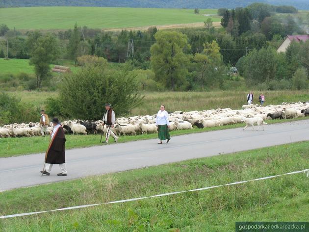 Jesienny osad owiec w Osławicy - 2017
