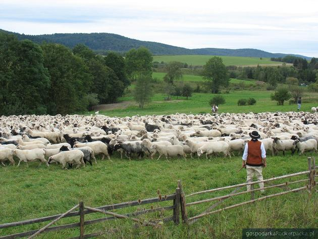 Owce wracają z hal. Osod w Osławicy w 2017 roku. Fot. Adam Cyło