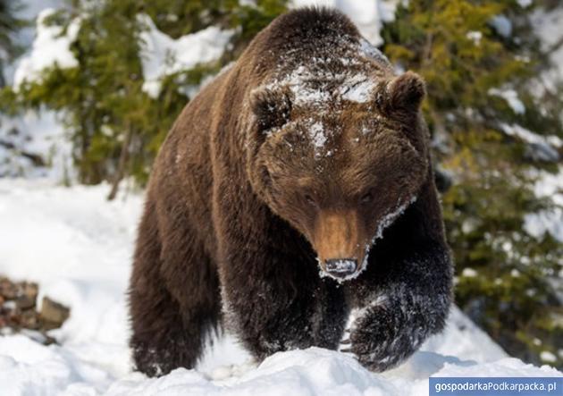 Co robić w razie spotkania z niedźwiedziem?  Poradnik dla turystów