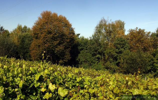 Winnica Zacisze w Trzcinicy