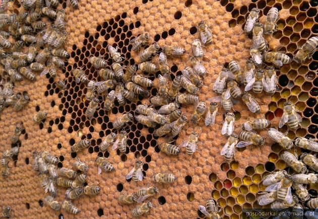 Opryski przeciw komarom mogą zatruć pszczoły