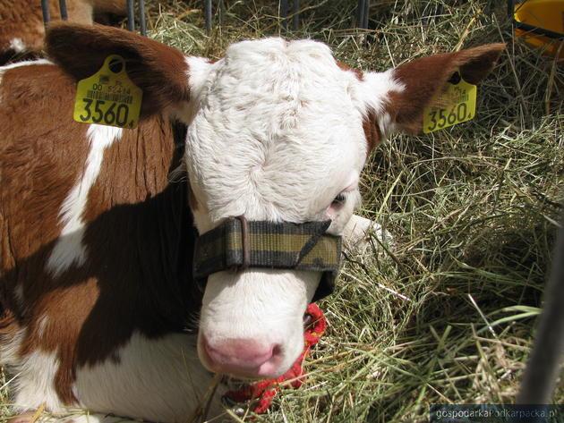 Ceny skupu świń i krów na Podkarpaciu 7 sierpnia 2014